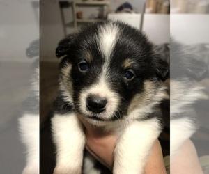 Pembroke Welsh Corgi Puppy for Sale in RURAL RETREAT, Virginia USA