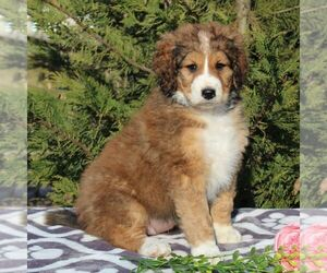 Bernedoodle-Poodle (Standard) Mix Puppy for sale in NARVON, PA, USA