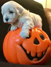 Maltese-Poodle (Toy) Mix Puppy For Sale in WEIMAR, TX, USA