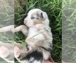Puppy 12 Australian Shepherd