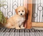 Small #1 Poochon