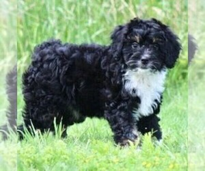 Miniature Bernedoodle Puppy for sale in ITASCA, TX, USA