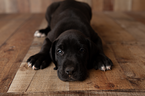 Great Dane Puppy For Sale in LAURENS, South Carolina,