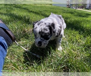 Australian Shepherd Puppy for sale in GENESEO, IL, USA
