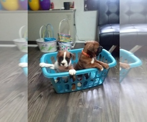 Boxer Puppy for sale in RUSSELL SPRINGS, KY, USA