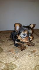 Yorkshire Terrier Puppy For Sale in WASHINGTON, DC, USA