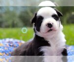 Australian Shepherd Puppy For Sale in WARRENSBURG, MO, USA