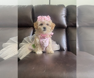 Poodle (Toy) Puppy for sale in WEST PALM BEACH, FL, USA