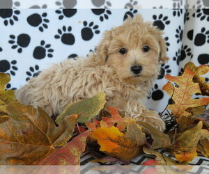 Maltipoo Puppy for sale in SHILOH, OH, USA