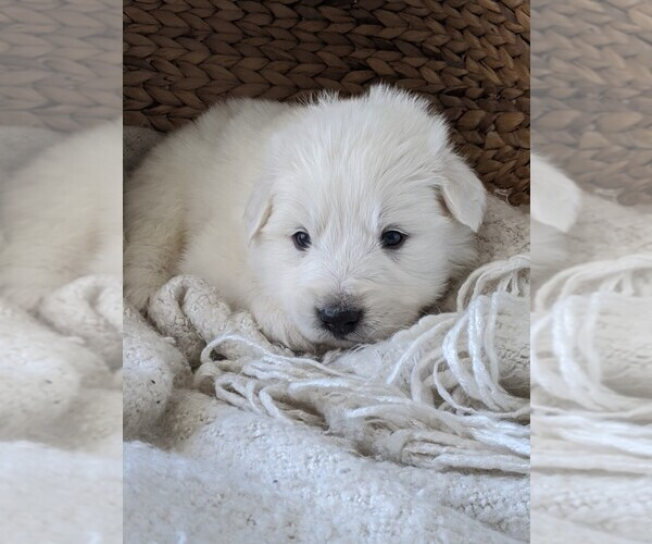 Medium Photo #1 Great Pyrenees Puppy For Sale in FALCON, CO, USA
