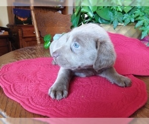 Labrador Retriever Puppy for Sale in REED CITY, Michigan USA