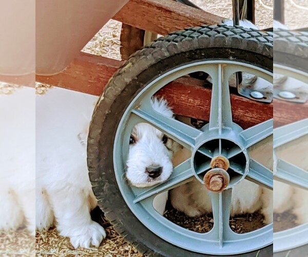 Medium Photo #110 Great Pyrenees Puppy For Sale in FALCON, CO, USA