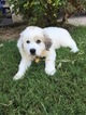 Great Pyrenees Puppy For Sale in ALEDO, TX,