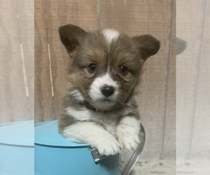 Pembroke Welsh Corgi Puppy for Sale in CENTRALIA, Illinois USA