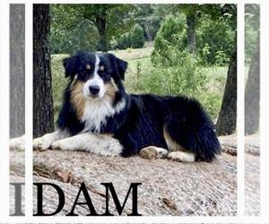 Mother of the Australian Shepherd puppies born on 03/01/2021