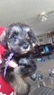 Schnauzer (Miniature) Puppy For Sale in CLERMONT, FL, USA