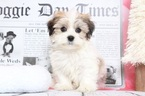 Marley Bubbly Male Havanese Puppy