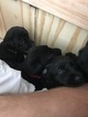 Labrador Retriever Puppy For Sale in TUSCALOOSA, AL, USA