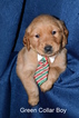 Golden Retriever Puppy For Sale in UNION, Missouri,