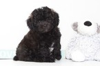 Shih-Poo Puppy For Sale in NAPLES, FL, USA