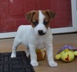 Healthy Jack Russell smart puppy