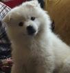 American Eskimo Dog Puppy For Sale in CAMERON PARK, CA, USA