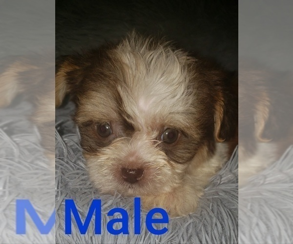 Medium Photo #5 Shih Tzu Puppy For Sale in OTTAWA, OH, USA
