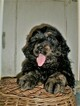 Bernedoodle Puppy For Sale in ROME, PA, USA