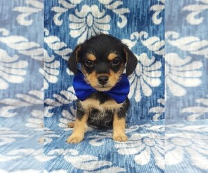 Foodle Puppy for sale in LANCASTER, PA, USA