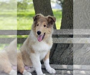Collie Dog for Adoption in CENTERVIEW, Missouri USA
