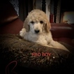 Poodle (Standard) Puppy For Sale in MURFREESBORO, Tennessee,