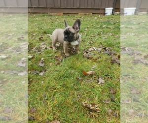 French Bulldog Puppy for sale in PROSPECT, OR, USA