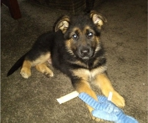 German Shepherd Dog Puppy for sale in MILFORD, IN, USA