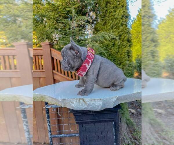 Medium Photo #2 French Bulldog Puppy For Sale in MARYSVILLE, WA, USA