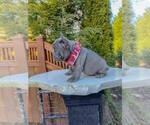 Small Photo #2 French Bulldog Puppy For Sale in MARYSVILLE, WA, USA
