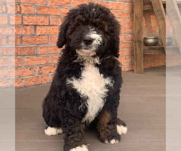 Medium Photo #2 Bernedoodle Puppy For Sale in NARVON, PA, USA