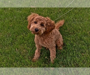 Goldendoodle Puppy for sale in CHATHAM, IL, USA