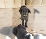Puppy 1 English Shepherd