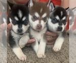 Alaskan Klee Kai Puppy For Sale in TURLOCK, CA, USA