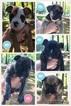 Olde English Bulldogge Puppy For Sale in GAINESVILLE, Georgia,