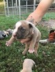 American Pit Bull Terrier Puppy For Sale in DARDEN, TN