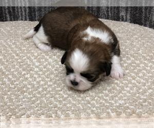 Shih Tzu Puppy for Sale in SILEX, Missouri USA