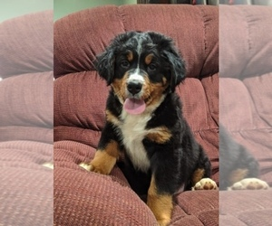 Bernese Mountain Dog Puppy for sale in POUND, VA, USA