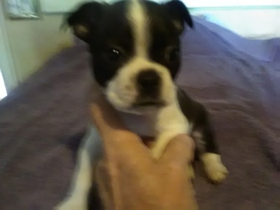 Boston Terrier Puppy For Sale in STOCKTON, MO