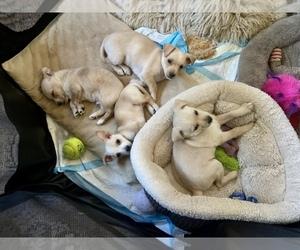 Chipin-Mauzer Mix Puppy for Sale in PRESCOTT, Arizona USA