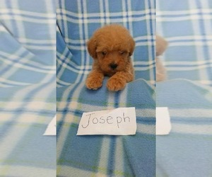 Maltese-Poodle (Toy) Mix Puppy for sale in CLARKRANGE, TN, USA