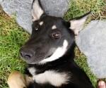 Small #14 German Shepherd Dog-Wolf Hybrid Mix