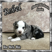 Ranch Raised ASDR Toy and Mini Aussie Puppies