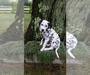 Dalmatian Puppy for Sale in JAMESBURG, New Jersey USA