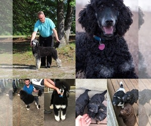 Poodle (Standard) Puppy for Sale in EFFINGHAM, South Carolina USA